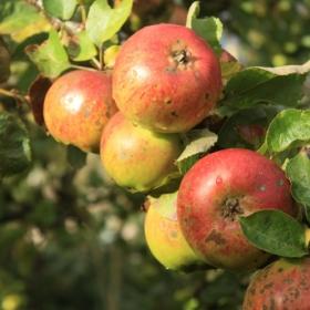 Jabłka w codziennej kuchni